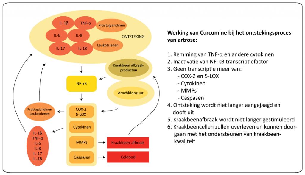 (Klik om te vergroten)Schematische afbeelding van de processen van de ontsteking bij artrose, waarbij Curcumine een remmende rol kan spelen