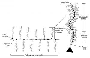 Structuur proteoglycanen, verwijzing nodig, contact RvL