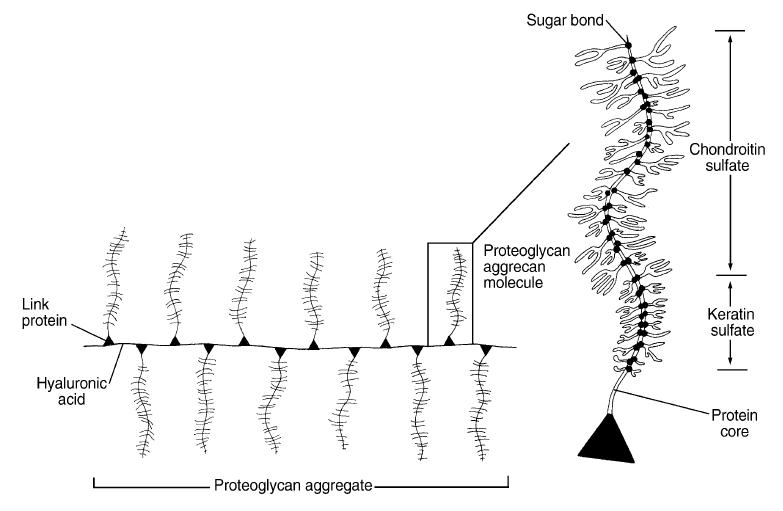 proteoglycanen