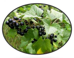 zwarte bes blad gewrichten