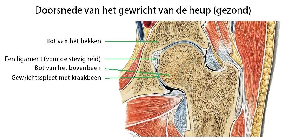 Afbeeldingsresultaat voor heupgewricht spieren