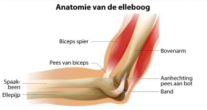 Een pees is een verlengstuk van een spier. Pezen verbinden de spieren aan de beenderen. Klik om dit voorbeeld van de elleboog te vergroten.