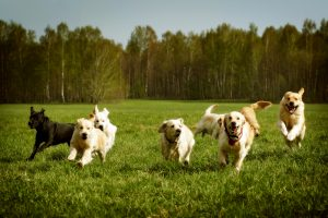 hond artritis spelen