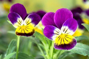 Viola tricolor viooltje