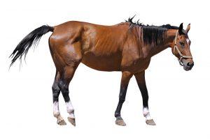 oud paard artrose
