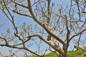 Berberine Mantsjoerijse kurkboom