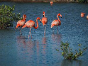 Astaxanthine flamingo