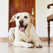 Maken onze huizen gewrichtspijn van de hond erger?