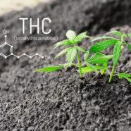 THC in medicinale cannabis bestrijdt pijn bij fibromyalgie