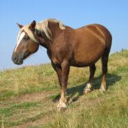 Is obesitas bij paarden risicofactor voor astma?
